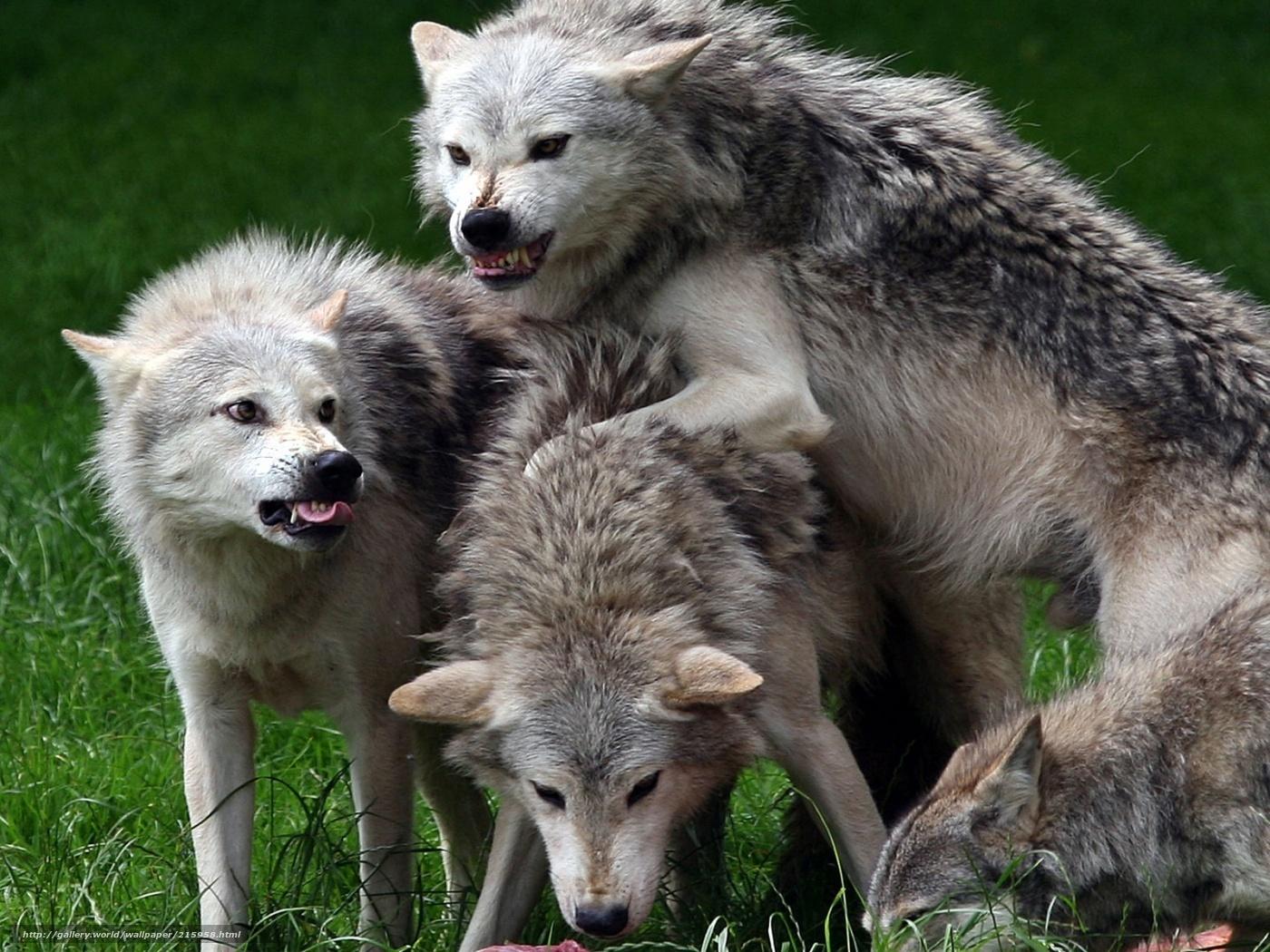 Animales Lobos Salvajes | Jongose Ninja