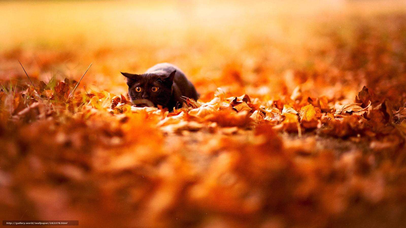Hq sonbahar yapraklar doğa siyah kedi arka plan duvar kağıdı