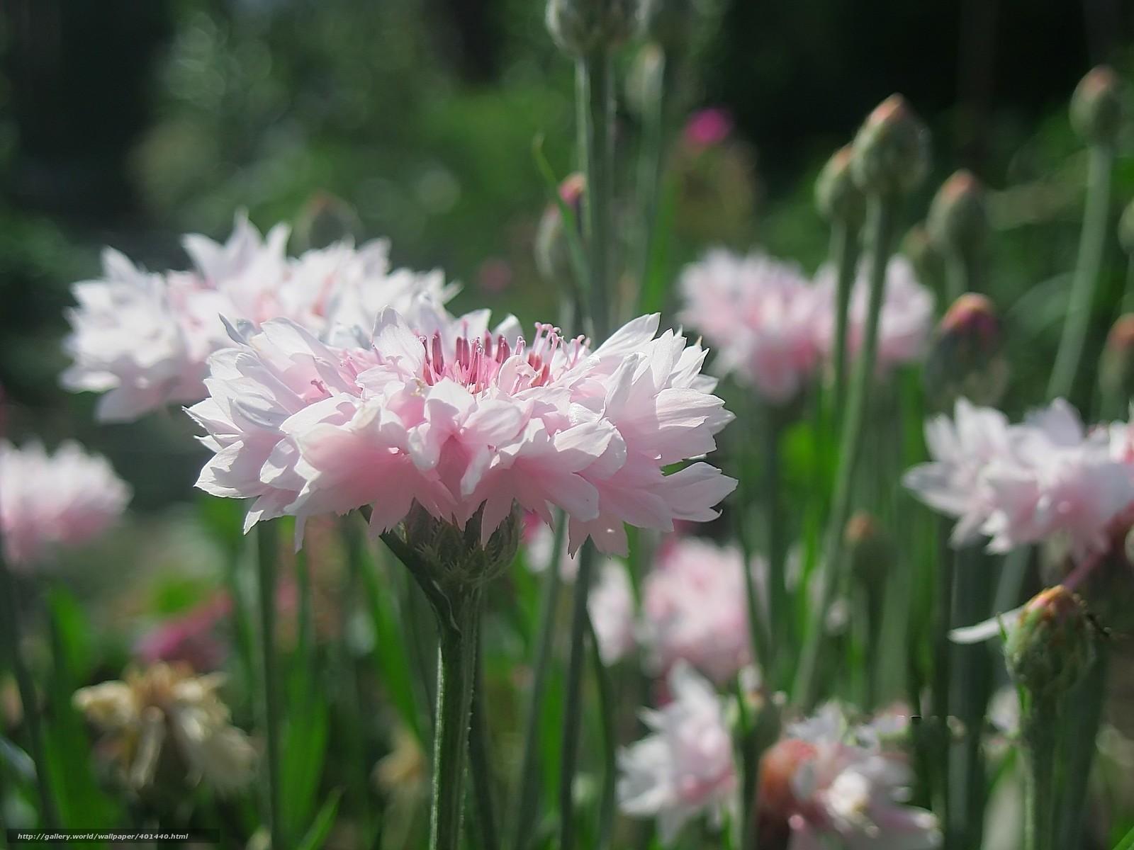 Васильки цветы садовые