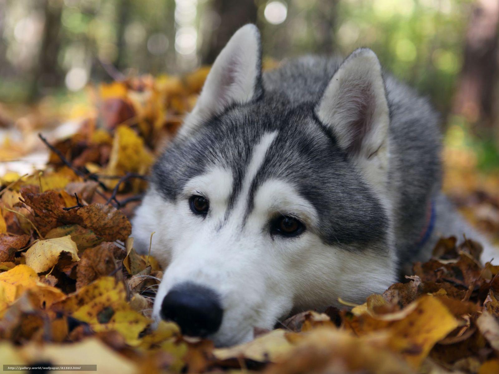 Собака порода хаски грустные глаза