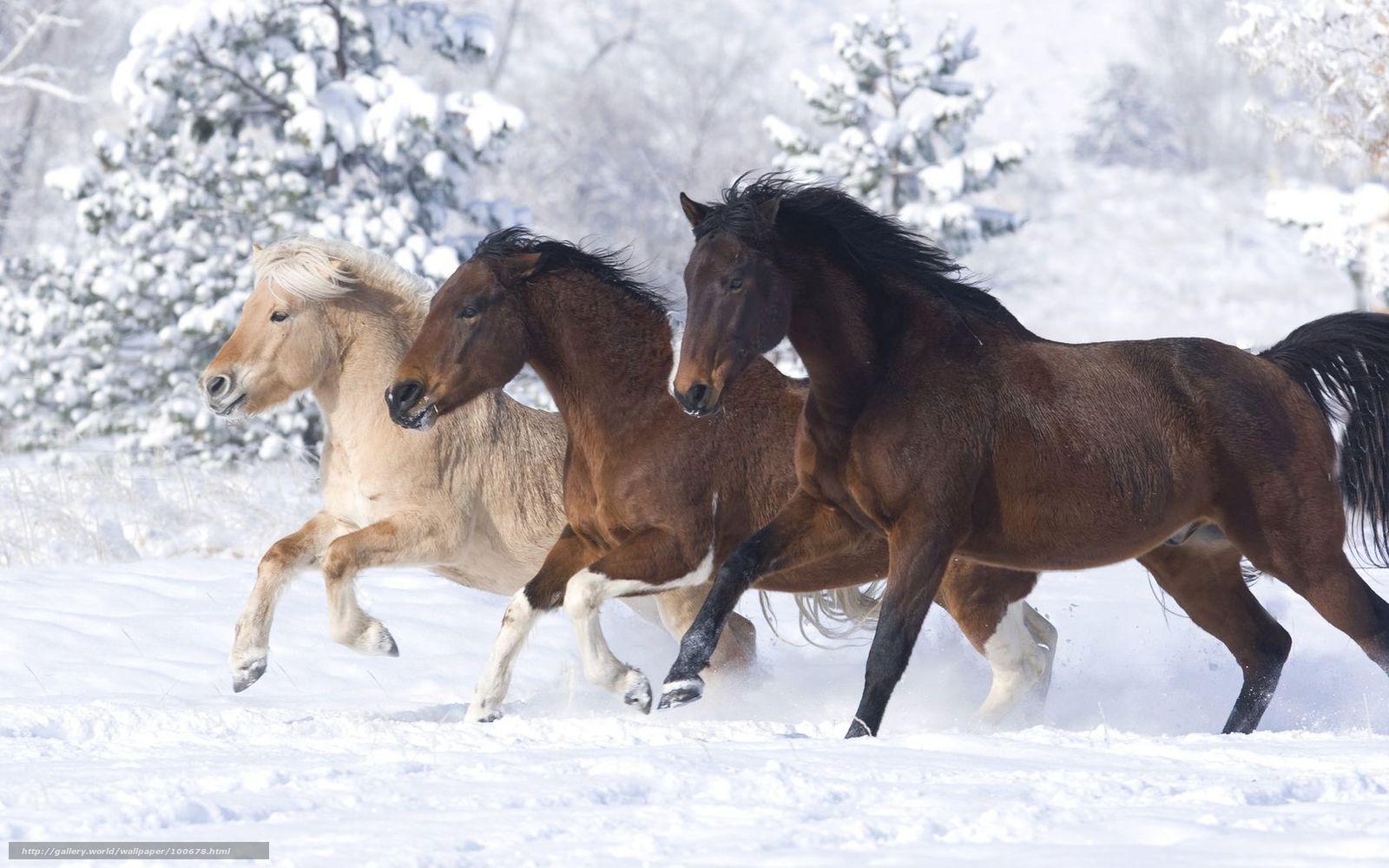 Download hintergrund pferde pferd schnee winter freie desktop