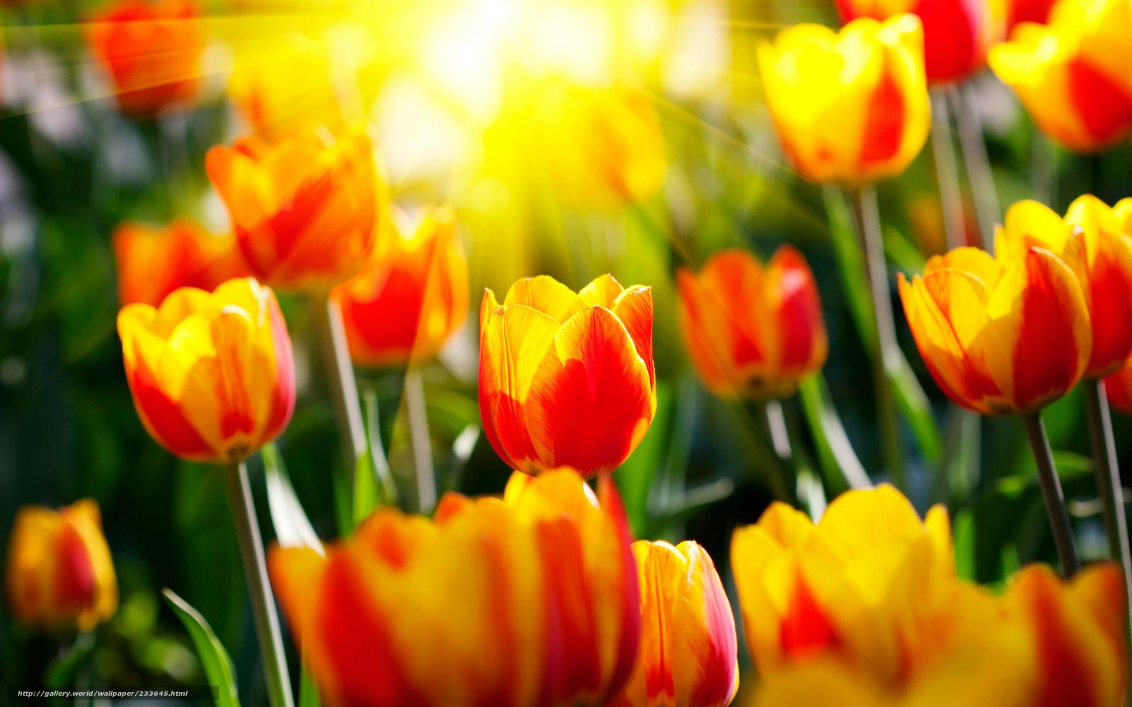 122594 (Цветы, тюльпаны, светл, весна, весенние обои, солнце, лучи, сад, парки, фото, природа, красивые обои для...
