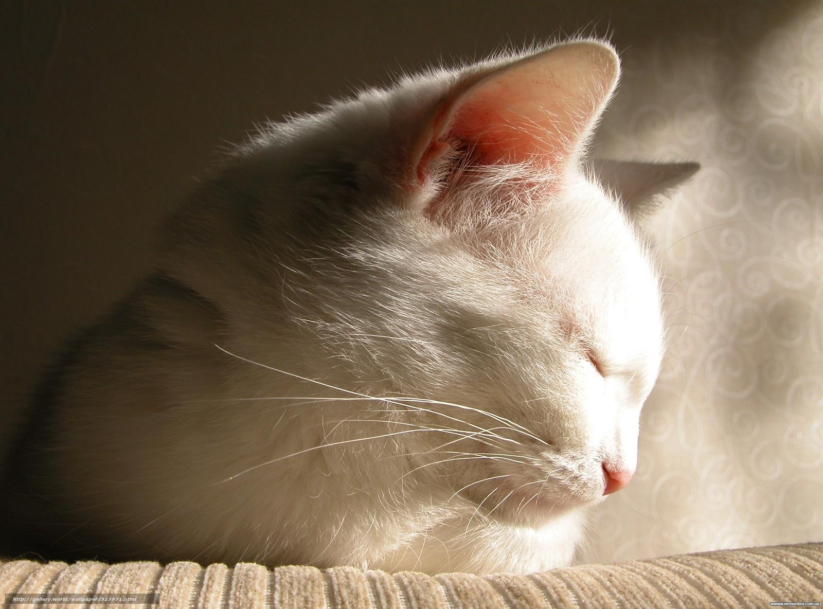 Кот, белый, засыпает, прелесть, фото, обои, картинка #327971 - www