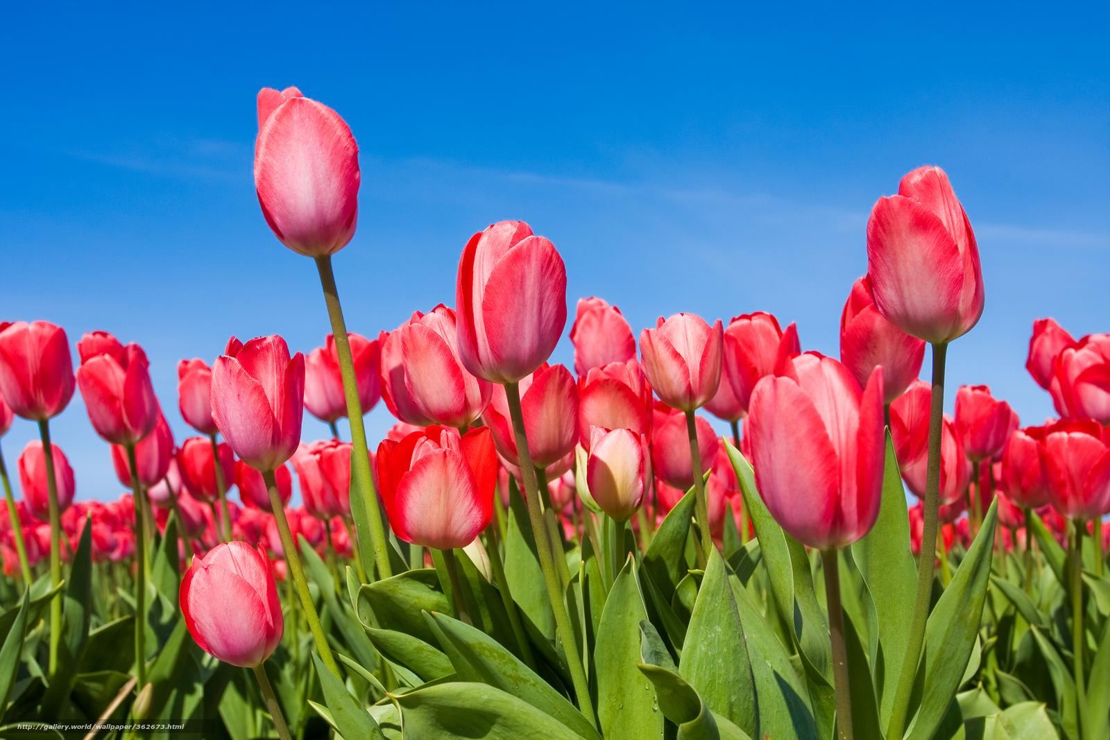 Baixar Wallpaper Tulipas,  Flores,  buds,  primavera Papis de parede grtis na resoluo 7776x5184 — quadro №362673