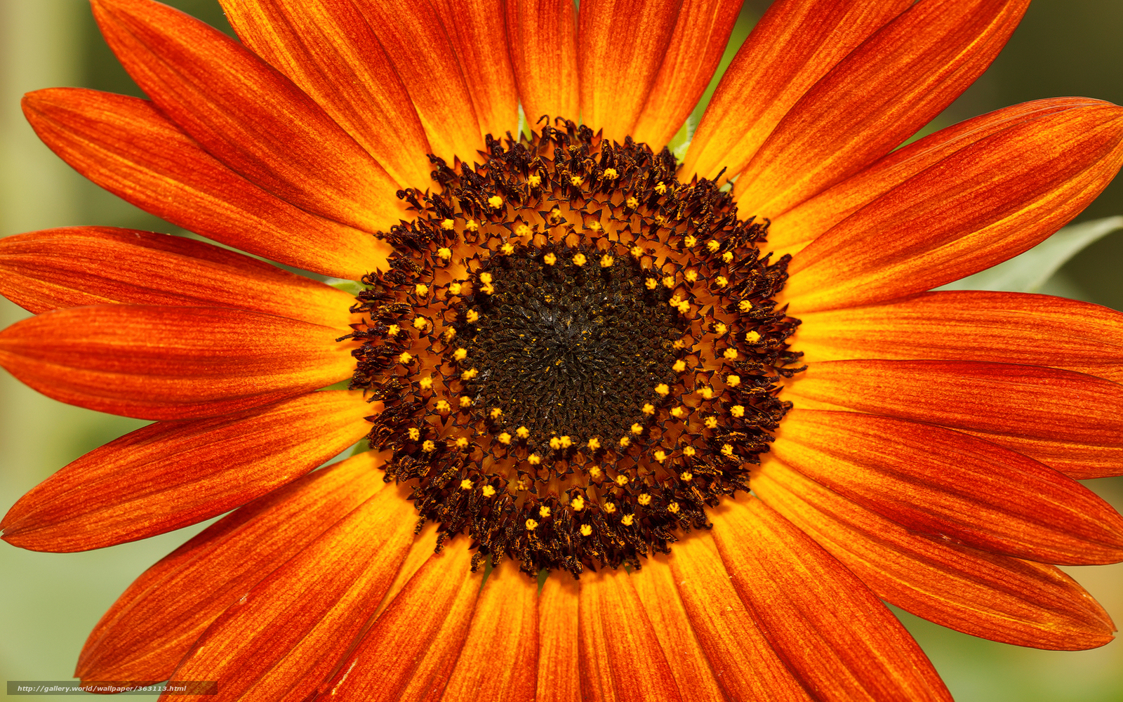 цветок, яркий, лепестки, серединка ...: misterforex.ru/gdefon/wallpaper/site/misterforex/id/363113/name...