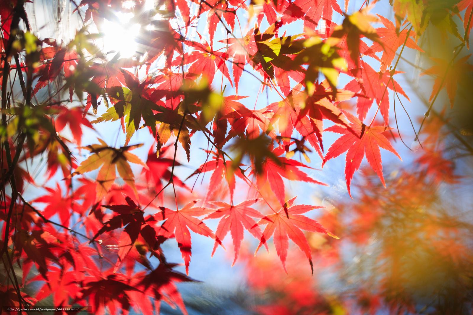 壁纸 叶子, 树, 枫, 红色, 秋天 桌面 - 图片号码465