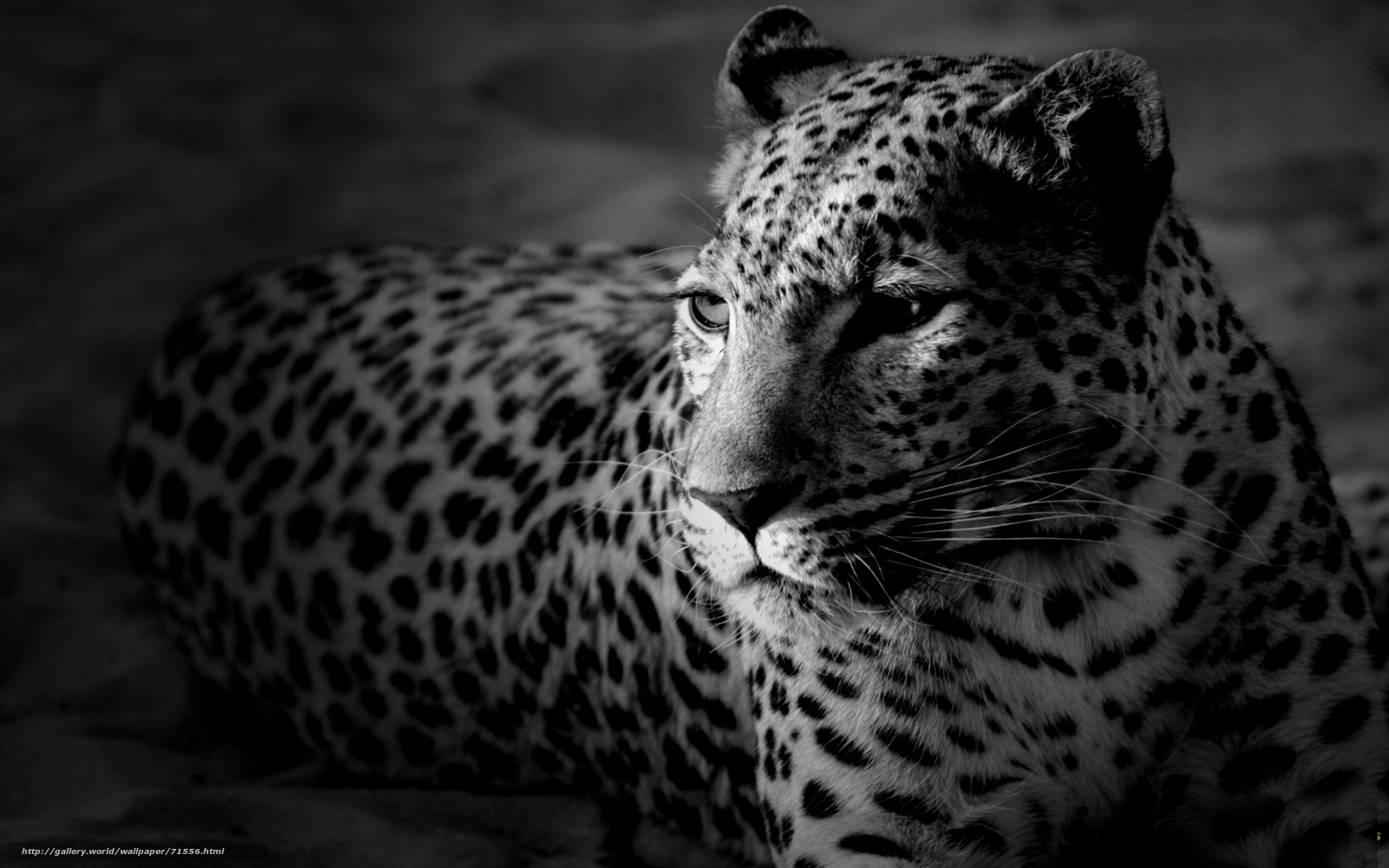 Обои картинки фото леопард, морда, черно-белые обои.
