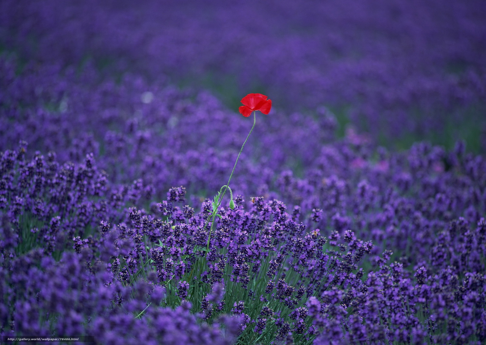 Download wallpaper lavender,  poppy,  field,  Flowers free desktop wallpaper in the resolution 1920x1363 � picture �78486