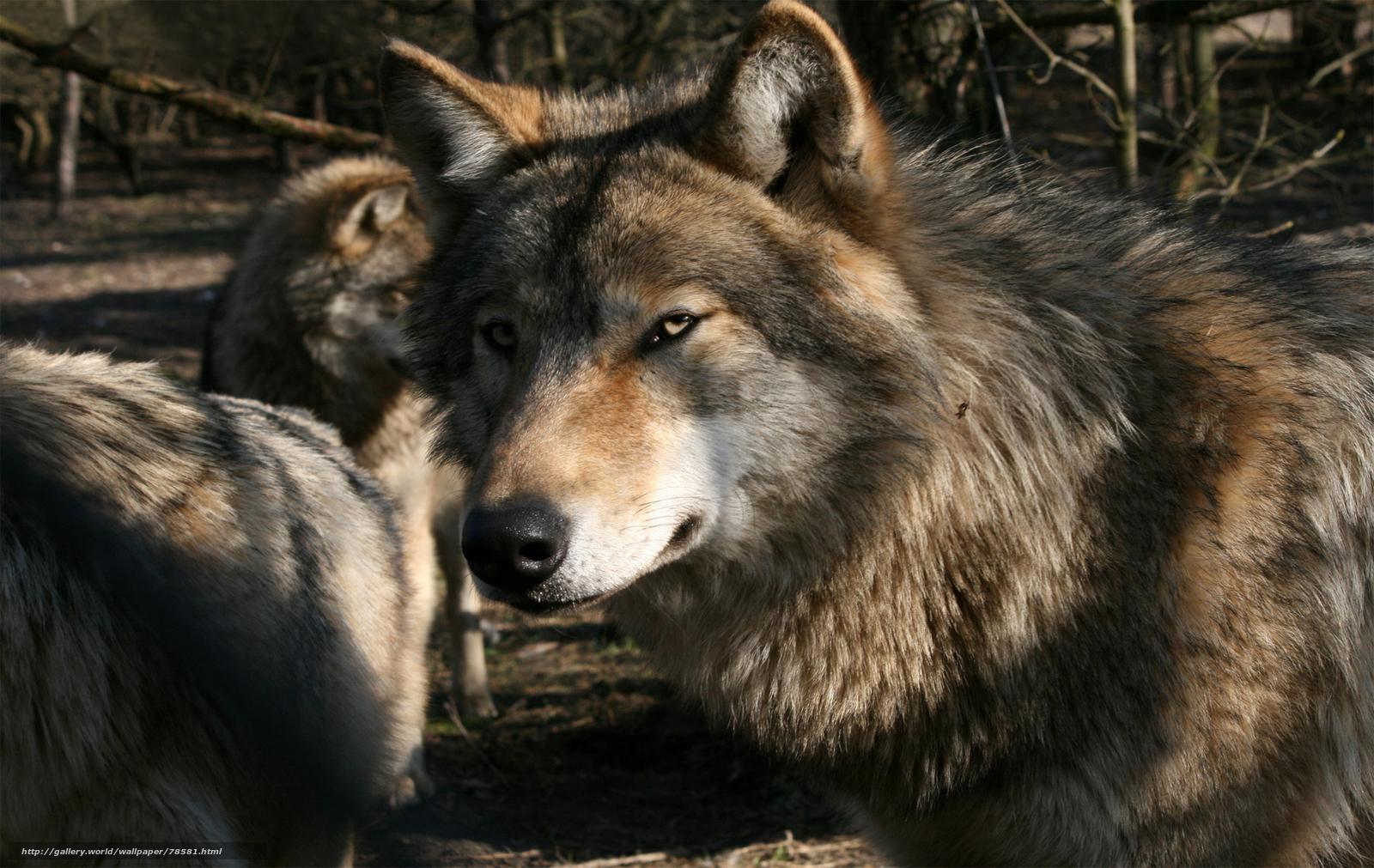 волки бесплатно для...