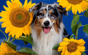dog, Sunflowers, Blue Background