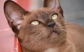 Бурманская кошка, бурма, мордочка, gdefon