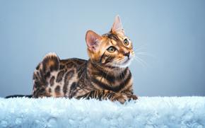 Бенгальская кошка, бенгал, взгляд, gdefon