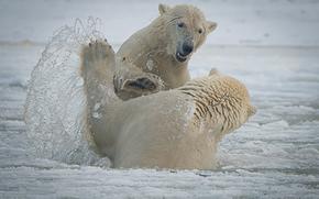 Arctic National Wildlife Refuge, Alaska, Национальный Арктический заповедник, Аляска, белые медведи, медведи, спарринг, брызги, gdefon