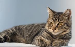кот, кошка, взгляд, портрет, gdefon