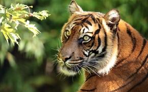 Суматранский тигр, тигр, хищник, морда, портрет, ветка, gdefon